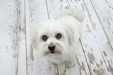 Cute maltese dog looking up and sitting above vintage parquet. high angle view. Begging food concept.