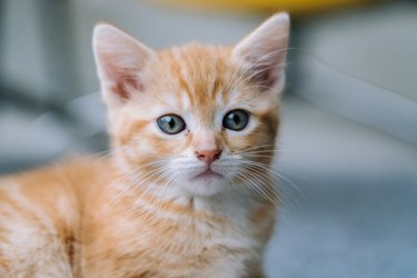 Cute little red cat sitting on yellow chair near window on background. Young cute little red kitty. Long haired ginger kitten play at home. Cute funny home pets. Domestic animal and Young kittens