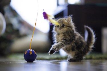 Kitten Prepares to Pounce