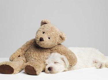 Teddy bear resting on sleeping West Highland Terrier puppy