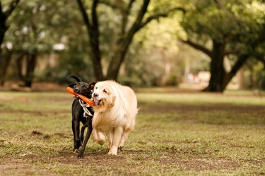 Dogs running and holding a toy at park