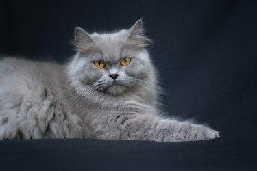Blue Persian Cat Portrait