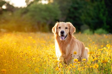 Golden Retriever in the field with yellow flowers.