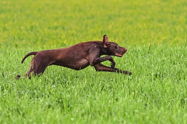 German short-haired pointer on field trial.