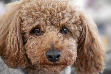 Toy poodle tearfuleyes
