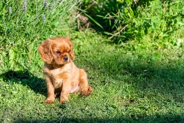 A red furred puppy in grass