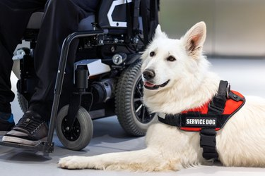 Service dog assisting its owner