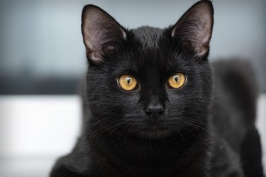 cute black cat with yellow eyes looking at the camera
