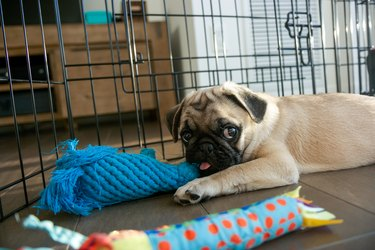 Pug Puppy in playpen with toys
