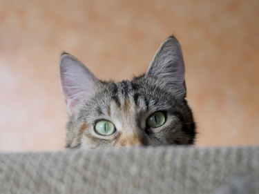 Portrait Of Tabby Cat Hiding Against Wall