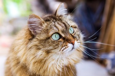 Portrait of cute siberian cat with green eyes. Copy space, close up, background. Adorable domestic pet concept.