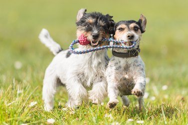 Two cute friendly dogs are playing with a ball - Jack Russell Terrier