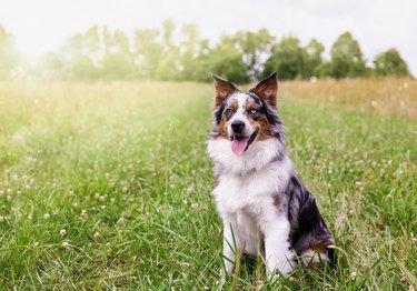Happy Malchi the Australian Shepherd Dog in a Field