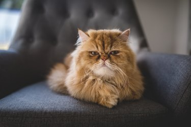 Angry looking Persian cat at home
