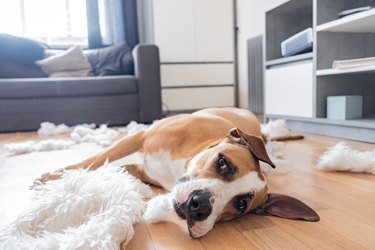 Dog lies among torn pieces of a pillow in a living room
