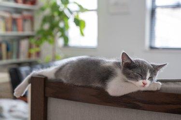 Kitten sleeping on back of chair