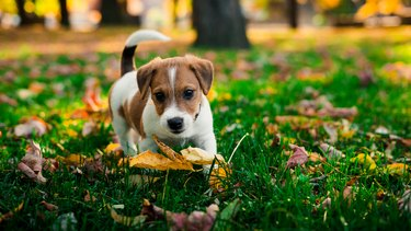 Ð¡ute little brown-white puppy on a walk in the park in golden autumn. conception:great friendship human with dog.