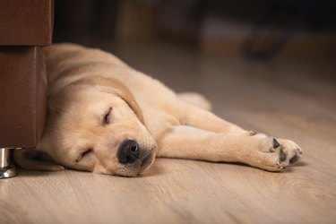 Close up view of cute golden labrador retriever dog sleeping on floor indoors on blurred background. Time to sleep, sweet dreams, goodnight
