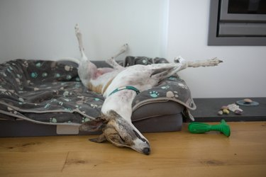 Pet adopted greyhound sleeps in a funny position with legs in the air