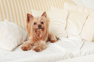 Yorkshire terrier dog lies on  pillows on the sofa