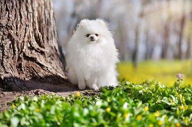 White pomeranian sitting next to the tree