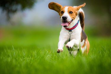 Beagle dog running on a meadow
