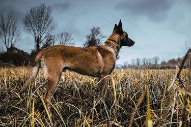Belgian Malinois dog outdoor walking