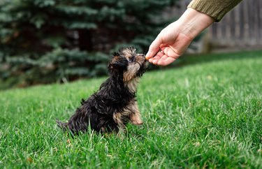 Morkie puppy taking treat from an outstretched hand outside on grass.