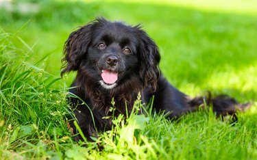 A positive black dog is looking at the camera and smiling.