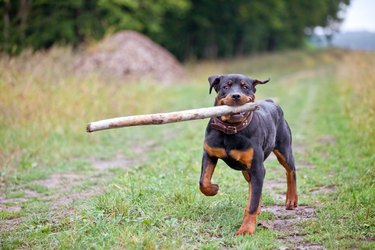 Portrait Of Dog Carrying Stick In Mouth While Walking On Grass