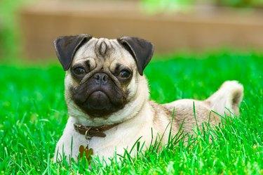 Pug lying on green lawn