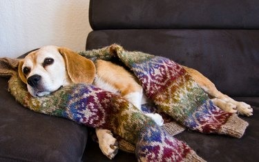 Cute old Beagle, dog, sleeping in a cosy sweater from wool, handknitted