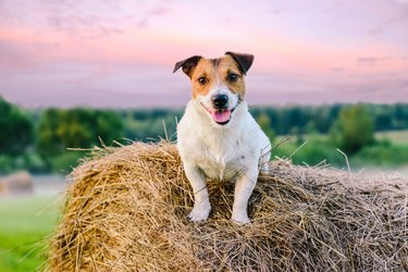 Rustic scene with farm dog on haystack at sunset