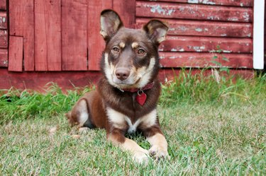 Cute puppy poses in front of red barn