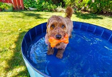 Miniature golden doodle in small splash pool to beat the summer heat