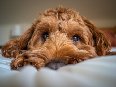 A young cockapoo lying on a bed