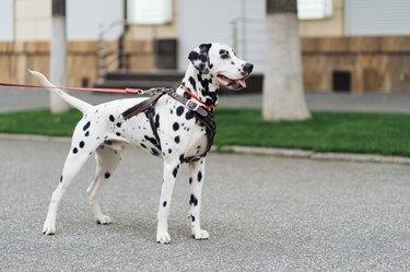 Funny Dalmatian Dog Walks Down Street On A Leash.