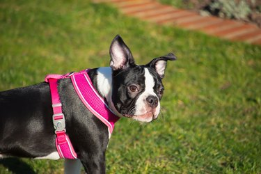 Boston Terrier puppy standing on the grass wearing a pink harness