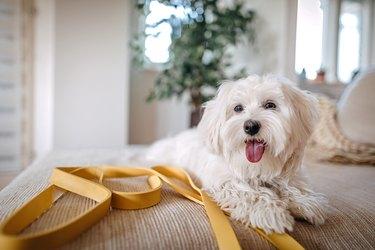 Maltese dog sitting on bed