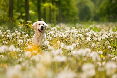 Portrait of golden retriever frolicking in field of flowers