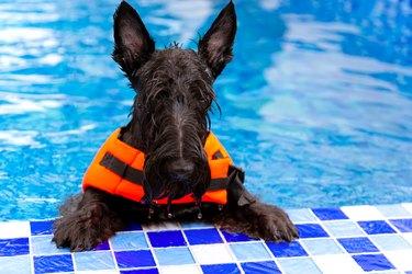 Swimming Schnauzer breed dog