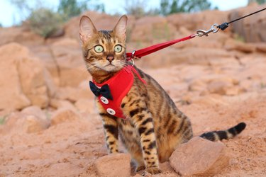 Cat on a leash with a fancy outfit