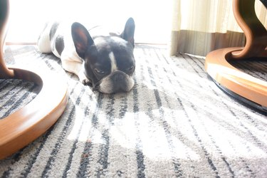 Tired and sleepy french bulldog