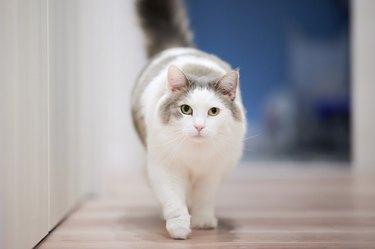 White Cat Walking On Wooden Flooring Towards Camera