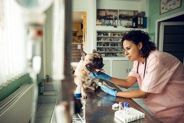 Veterinarian examining french bulldog