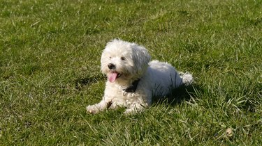 Cute Little White Dog Laying On Grass