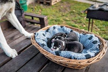 newborn husky puppies