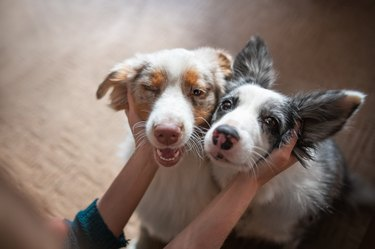 Two happy border collies being petted by owner