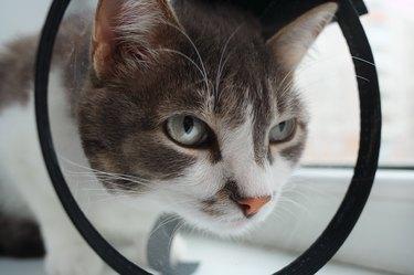 Pet cat in a veterinary collar close-up