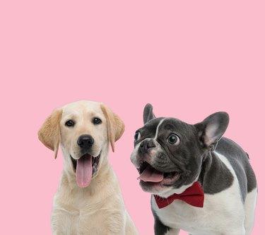 team of labrador retriever and french bulldog